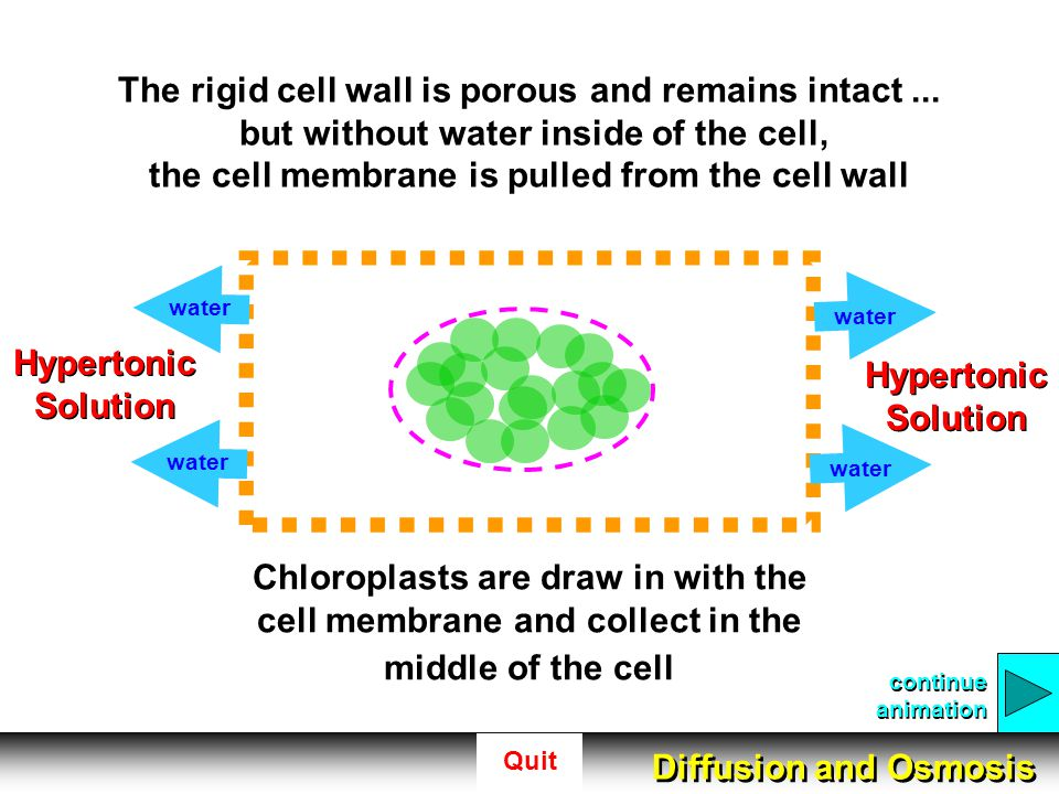 Quit The rigid cell wall is porous and remains intact... but without water inside of the cell, the cell membrane is pulled from the cell wall continue