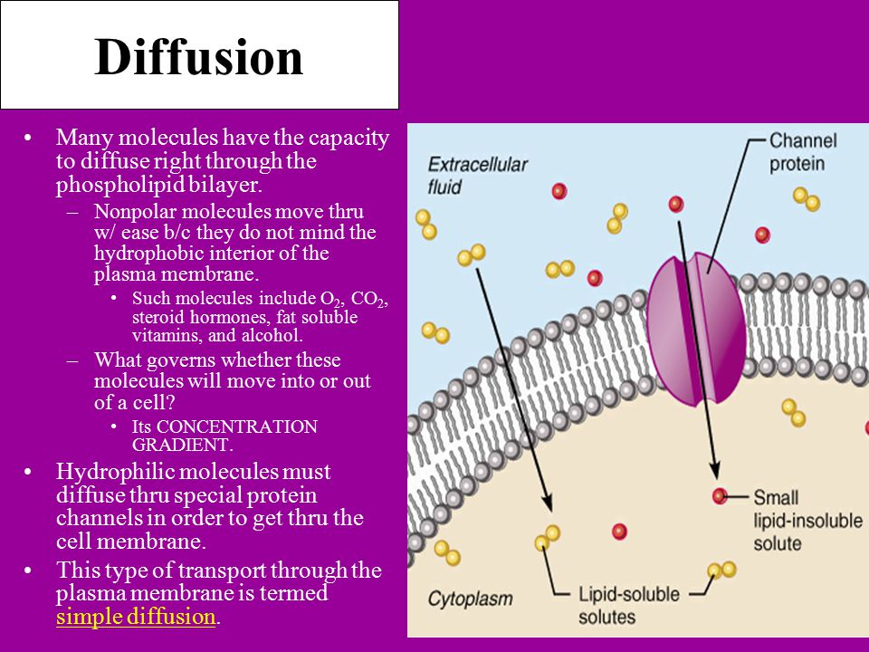 Diffusion Many molecules have the capacity to diffuse right through the phospholipid bilayer.