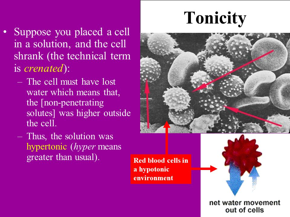 Tonicity Suppose you placed a cell in a solution, and the cell shrank (the technical term is crenated): –The cell must have lost water which means that, the [non-penetrating solutes] was higher outside the cell.