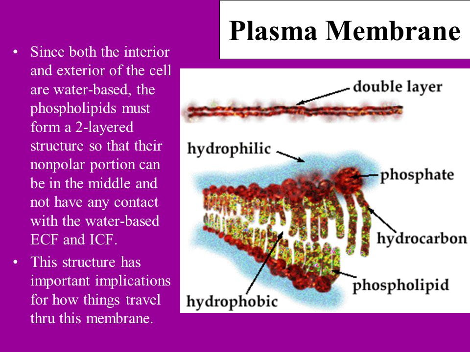 Plasma Membrane Since both the interior and exterior of the cell are water-based, the phospholipids must form a 2-layered structure so that their nonpolar portion can be in the middle and not have any contact with the water-based ECF and ICF.