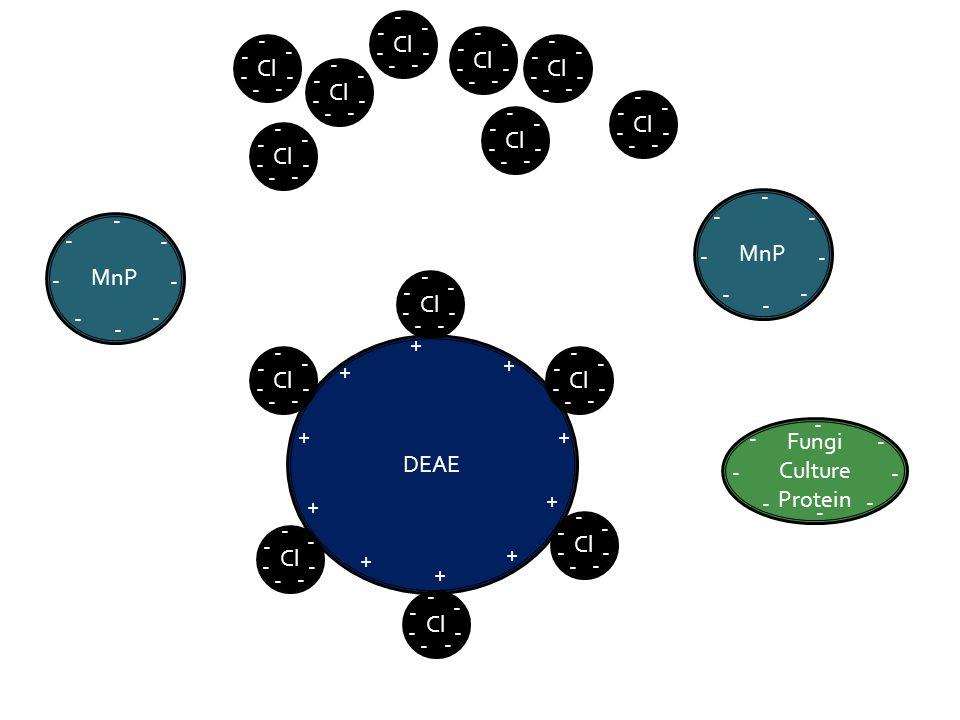 DEAE Cl - - - - - - - - - - - - - - - - - - - - - - - - - - - - - - - - - - - - - - - - - - + + + + + + + + + + MnP - - - - - - - - - - - - - - - - Fungi Culture Protein - - - - - - - - Cl - - - - - - - - - - - - - - - - - - - - - - - - - - - - - - - - - - - - - - - - - - - - - - - - - - - - - - - -