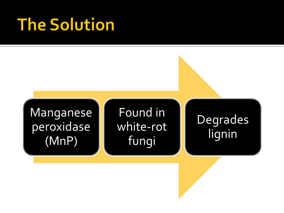 Manganese peroxidase (MnP) Found in white-rot fungi Degrades lignin