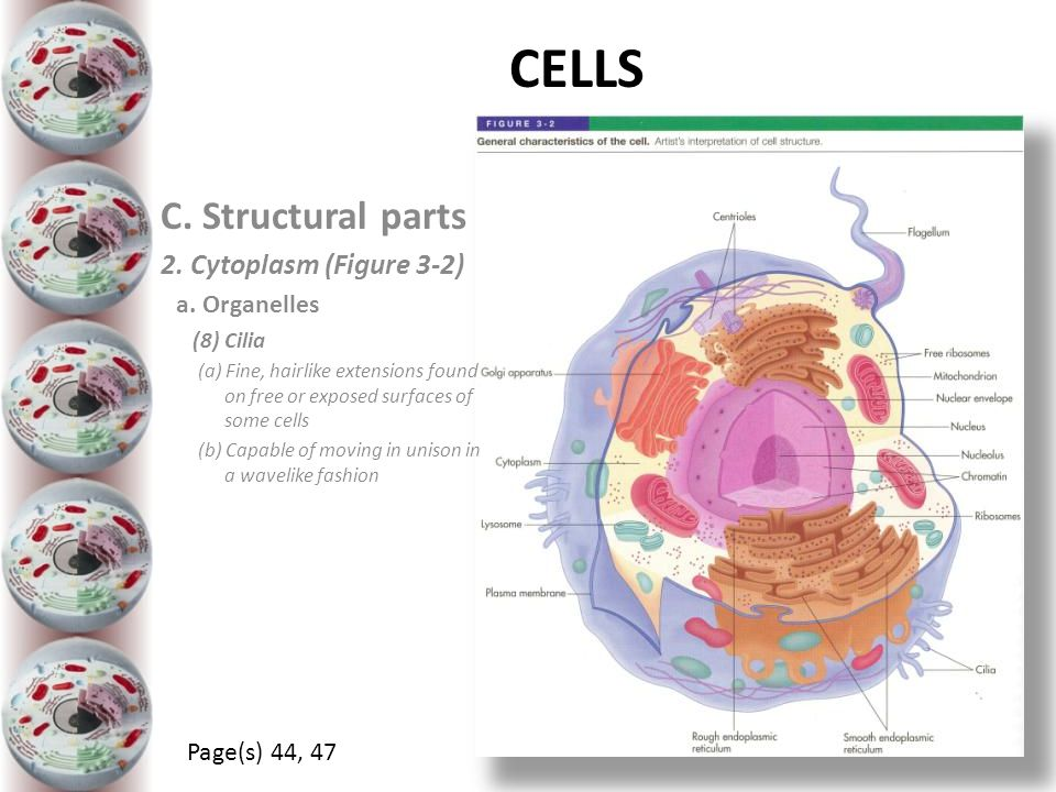 CELLS C. Structural parts 2. Cytoplasm (Figure 3-2) a. Organelles (8) Cilia (a) Fine, hairlike extensions found on free or exposed surfaces of some ce
