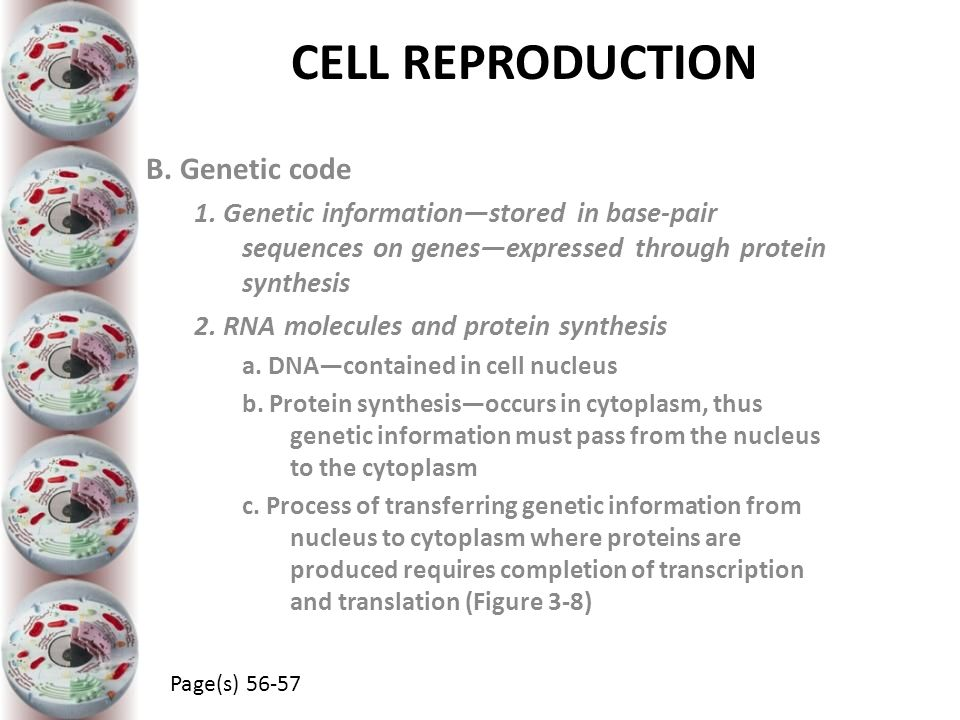 CELL REPRODUCTION B. Genetic code 1. Genetic information—stored in base-pair sequences on genes—expressed through protein synthesis 2. RNA molecules a