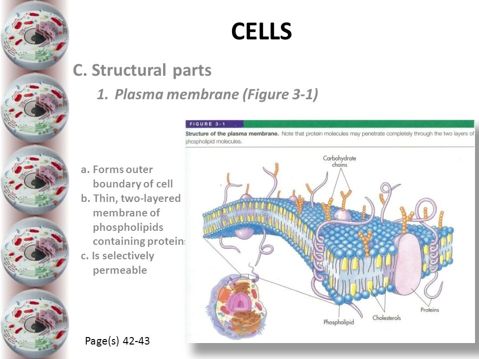 CELLS a. Forms outer boundary of cell b. Thin, two-layered membrane of phospholipids containing proteins c. Is selectively permeable C. Structural par