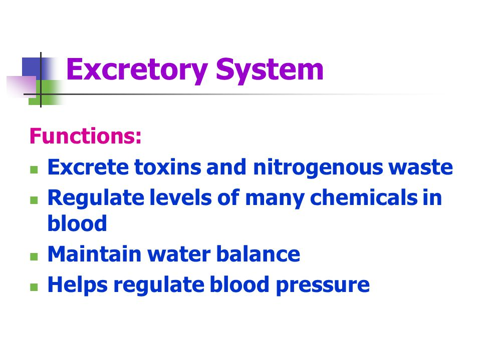 Excretory System Functions: Excrete toxins and nitrogenous waste Regulate levels of many chemicals in blood Maintain water balance Helps regulate blood pressure