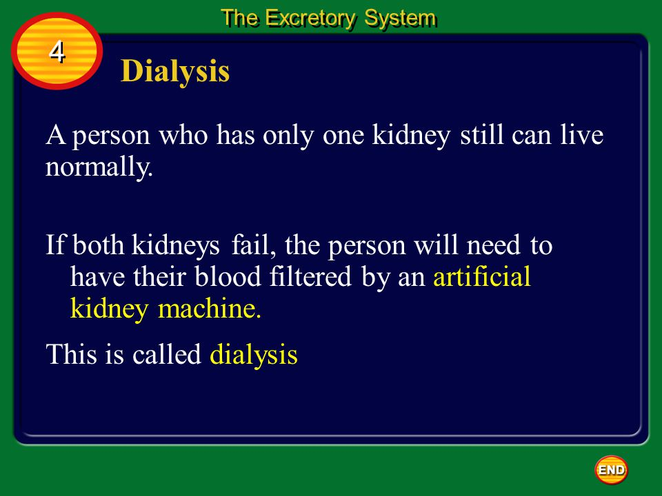 Dialysis A person who has only one kidney still can live normally. 4 4 The Excretory System If both kidneys fail, the person will need to have their b