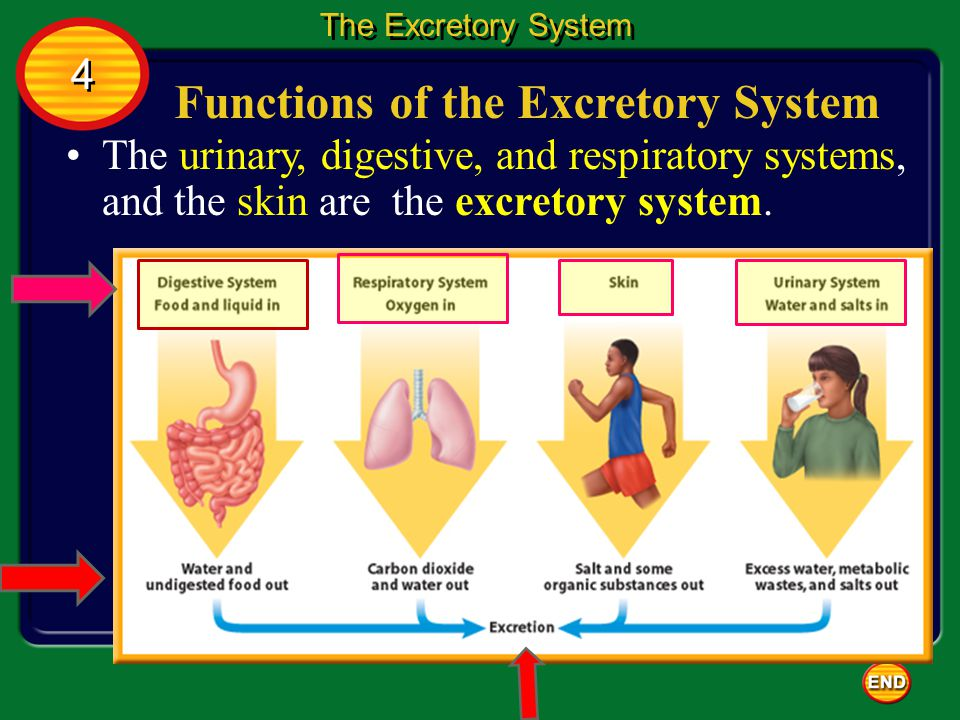 The Urinary System The urinary system: 1.cleans the blood of wastes produced by the cells.