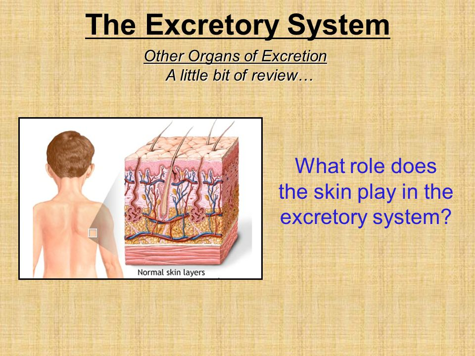 Other Organs of Excretion A little bit of review… What role does the skin play in the excretory system?