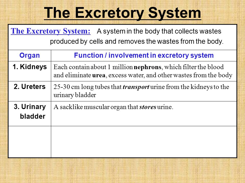 The Excretory System The Excretory System: A system in the body that collects wastes produced by cells and removes the wastes from the body.