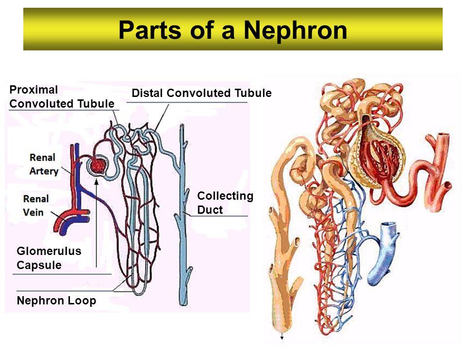 Parts of a Nephron Proximal Convoluted Tubule Distal Convoluted Tubule Collecting Duct Nephron Loop Glomerulus Capsule