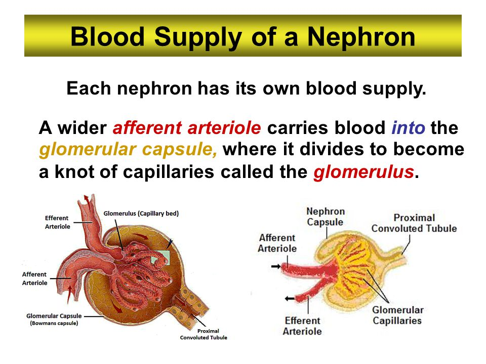 Blood Supply of a Nephron A wider afferent arteriole carries blood into the glomerular capsule, where it divides to become a knot of capillaries calle