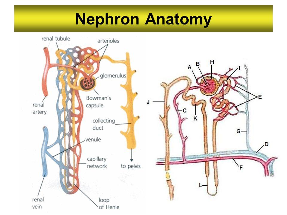 Nephron Anatomy