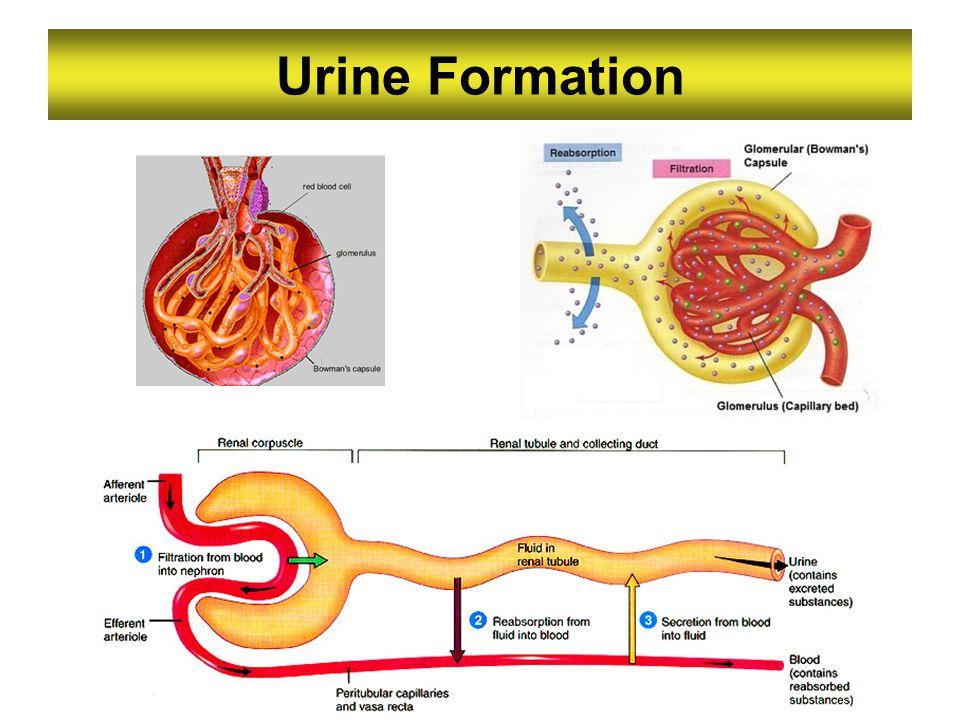 Urine Formation