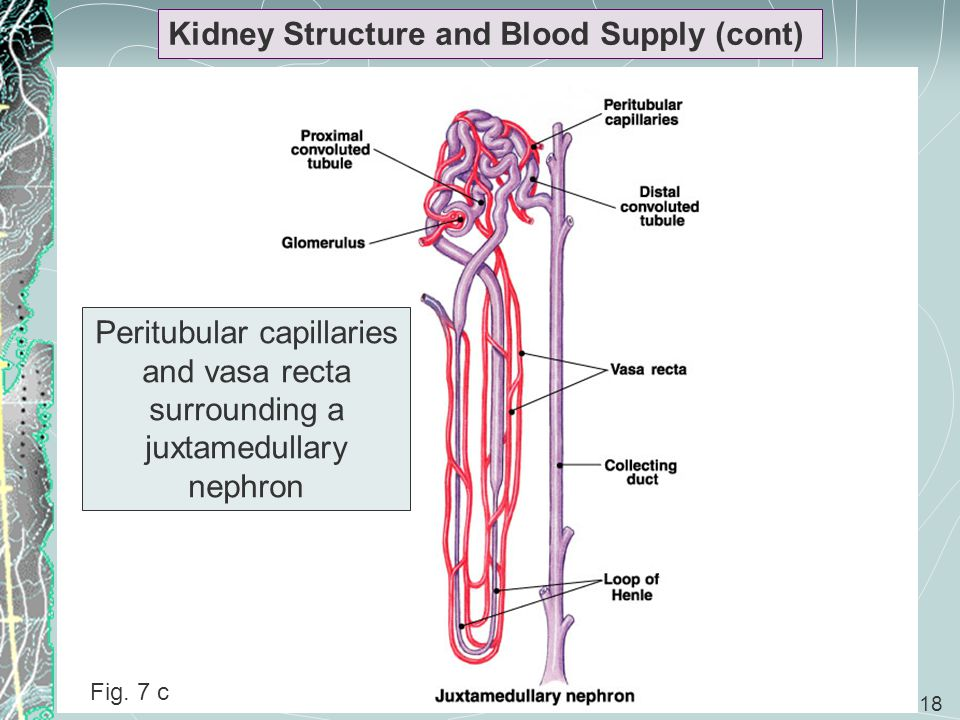 18 Kidney Structure and Blood Supply (cont) Peritubular capillaries and vasa recta surrounding a juxtamedullary nephron Fig. 7 c