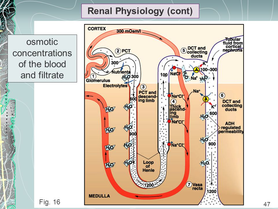 47 Renal Physiology (cont) Fig. 16 47 osmotic concentrations of the blood and filtrate