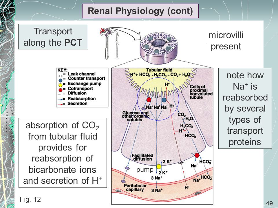 49 Renal Physiology (cont) Fig. 12 absorption of CO 2 from tubular fluid provides for reabsorption of bicarbonate ions and secretion of H + Transport