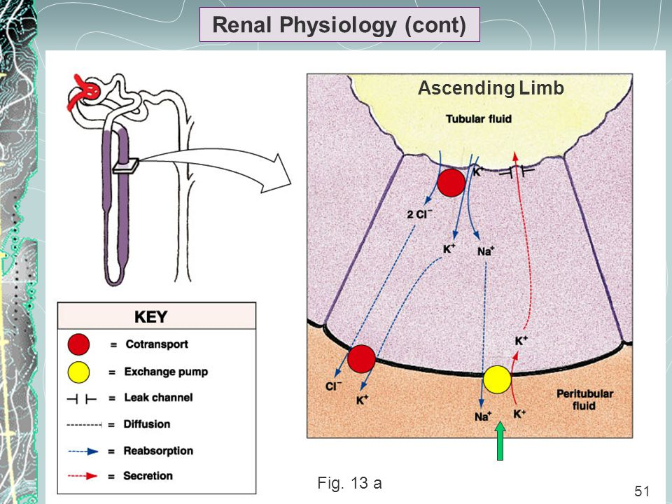 51 Renal Physiology (cont) 51 Fig. 13 a Ascending Limb