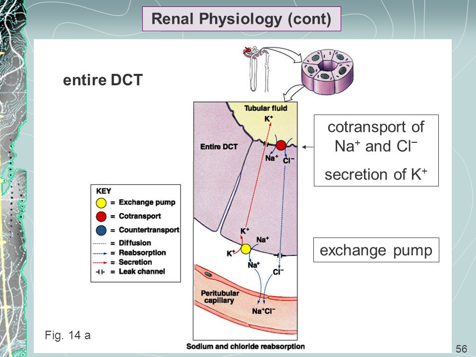 56 Renal Physiology (cont) cotransport of Na + and Cl – secretion of K + exchange pump entire DCT Fig. 14 a