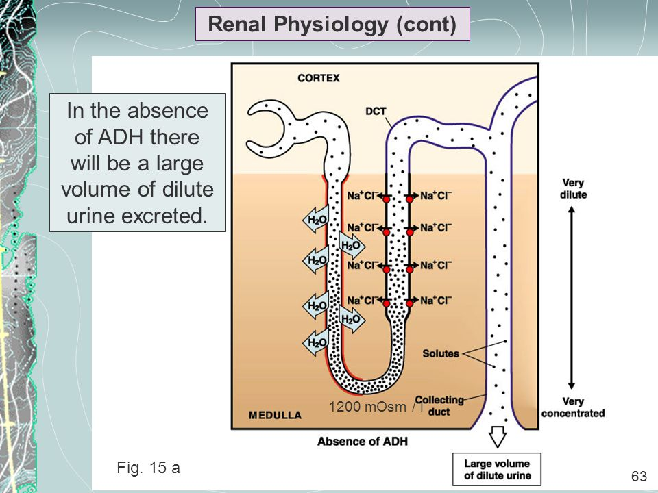 63 Renal Physiology (cont) 63 In the absence of ADH there will be a large volume of dilute urine excreted. 1200 mOsm / l Fig. 15 a