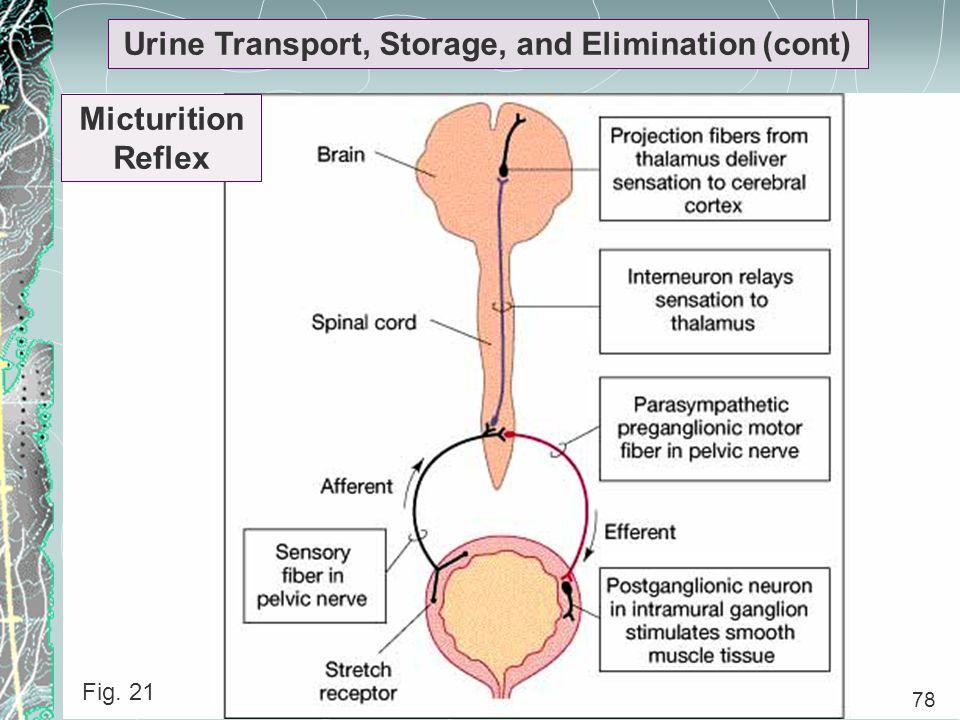 78 Urine Transport, Storage, and Elimination (cont) Micturition Reflex 78 Fig. 21