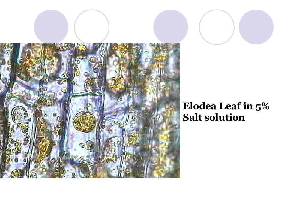Elodea Leaf in 5% Salt solution
