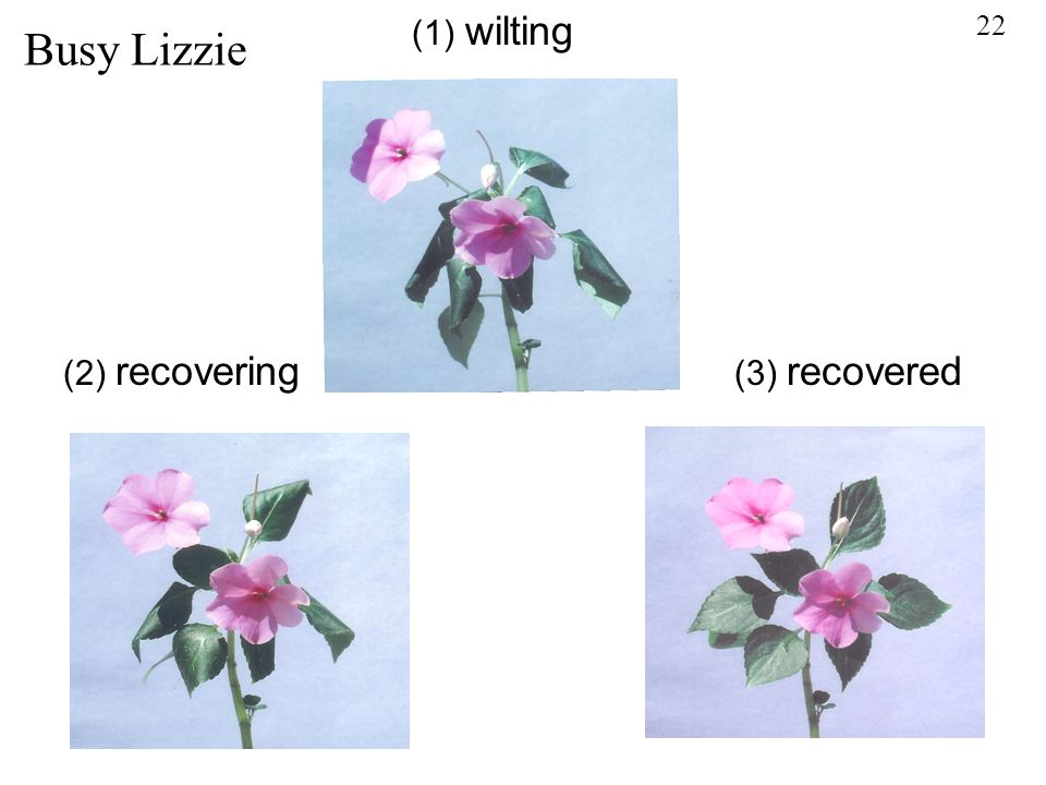 22 (1) wilting (2) recovering (3) recovered Busy Lizzie