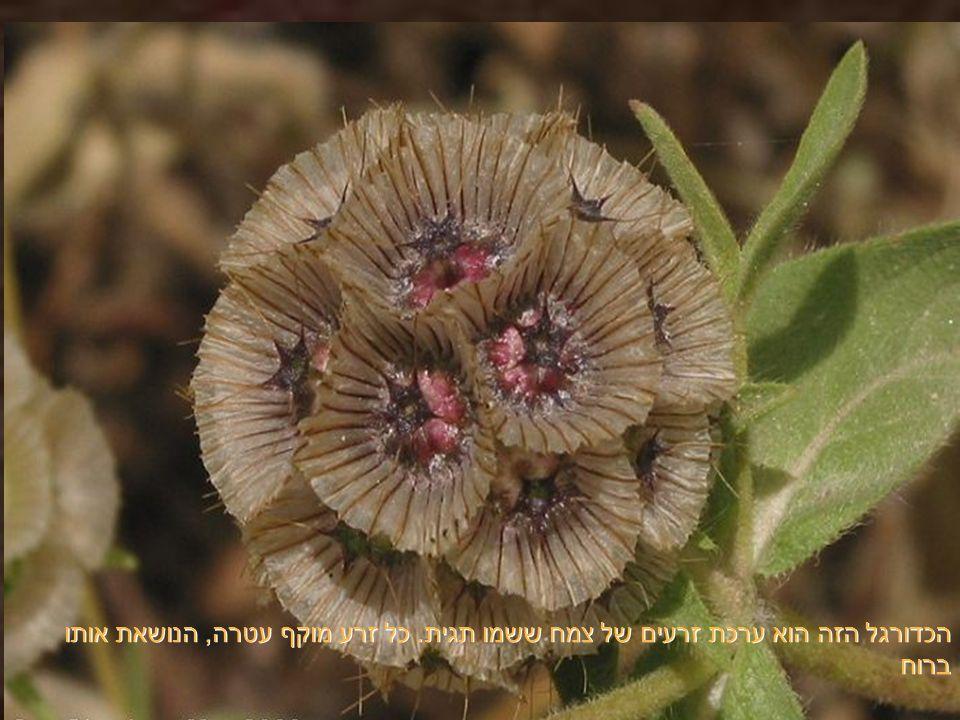 קוץ פופולרי למדי בסביבותינו, פורח בצהוב - כתום, ושמו בישראל חוֹחַ