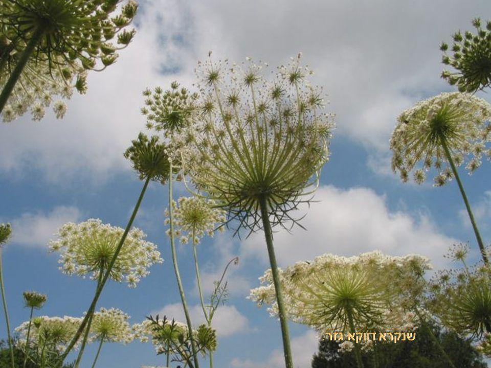 צמח ממשפחת הסוככיים.... ומה זאת המטרייה הזאת
