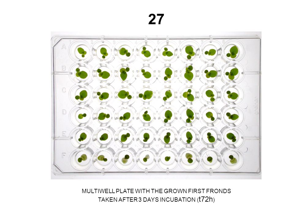27 MULTIWELL PLATE WITH THE GROWN FIRST FRONDS TAKEN AFTER 3 DAYS INCUBATION ( t72h )