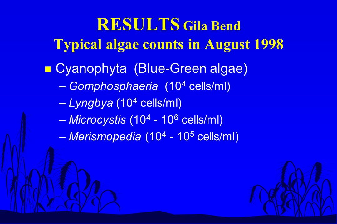 RESULTS Gila Bend Typical algae counts in August 1998 n Cyanophyta (Blue-Green algae) –Gomphosphaeria (10 4 cells/ml) –Lyngbya (10 4 cells/ml) –Microc