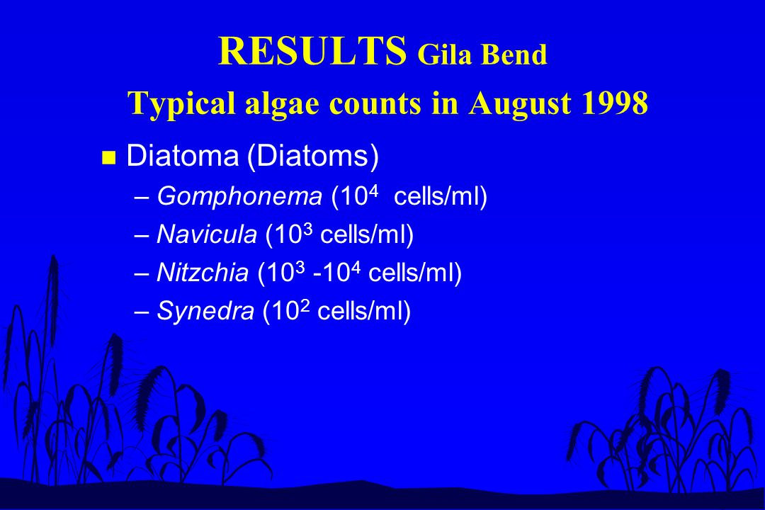 RESULTS Gila Bend Typical algae counts in August 1998 n Diatoma (Diatoms) –Gomphonema (10 4 cells/ml) –Navicula (10 3 cells/ml) –Nitzchia (10 3 -10 4