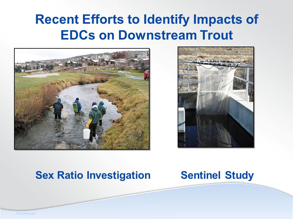 Filename.ppt Sex Ratio Investigation Recent Efforts to Identify Impacts of EDCs on Downstream Trout Sentinel Study