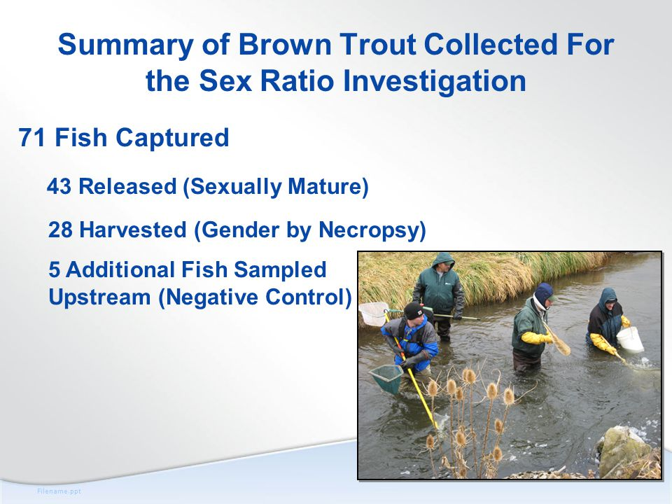 Filename.ppt Summary of Brown Trout Collected For the Sex Ratio Investigation 71 Fish Captured 43 Released (Sexually Mature) 28 Harvested (Gender by Necropsy) 5 Additional Fish Sampled Upstream (Negative Control)
