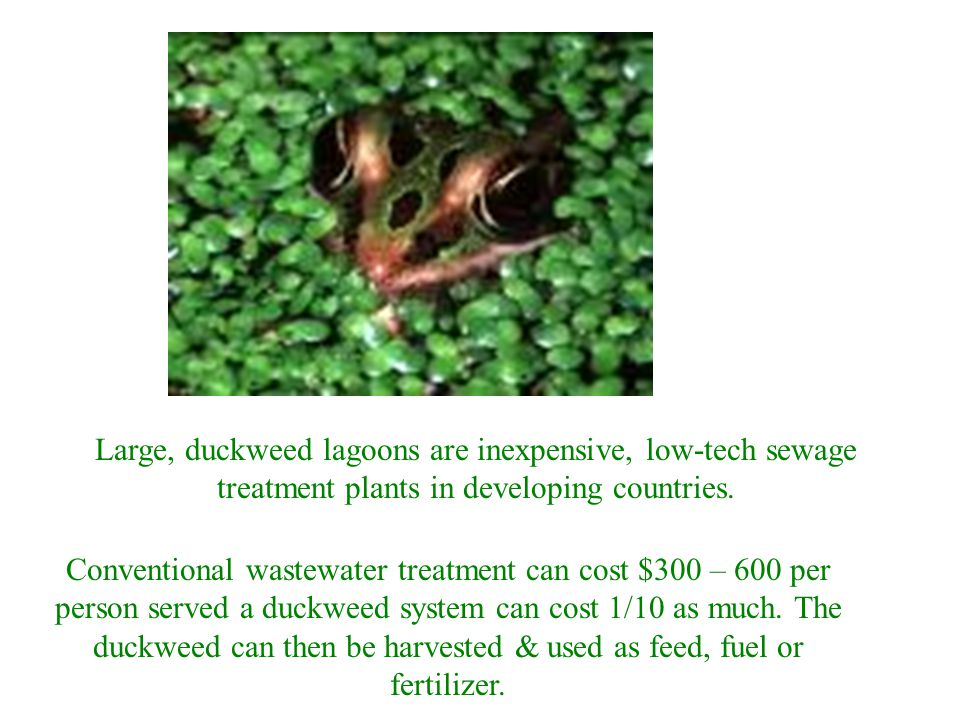 Large, duckweed lagoons are inexpensive, low-tech sewage treatment plants in developing countries.