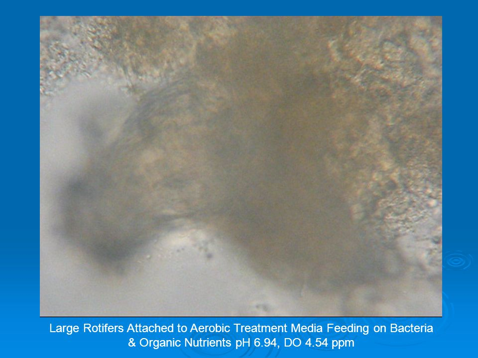 Large Rotifers Attached to Aerobic Treatment Media Feeding on Bacteria & Organic Nutrients pH 6.94, DO 4.54 ppm