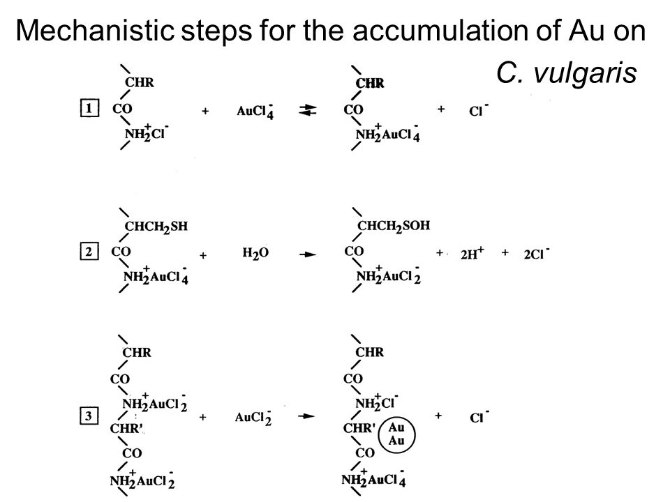 Mechanistic steps for the accumulation of Au on C. vulgaris