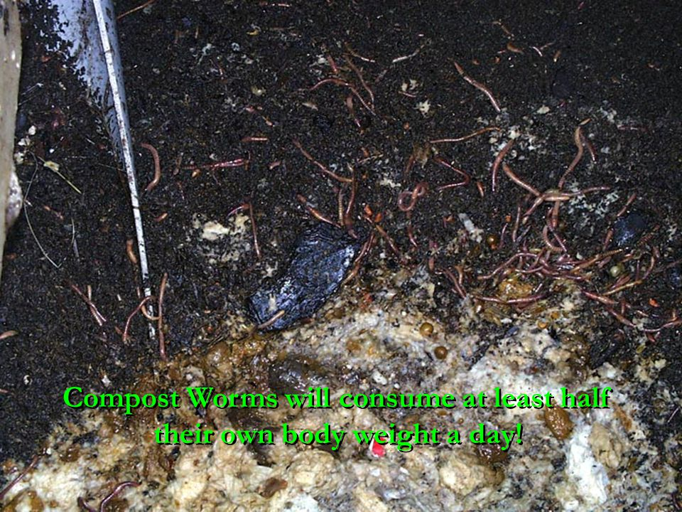 Compost Worms will consume at least half their own body weight a day!