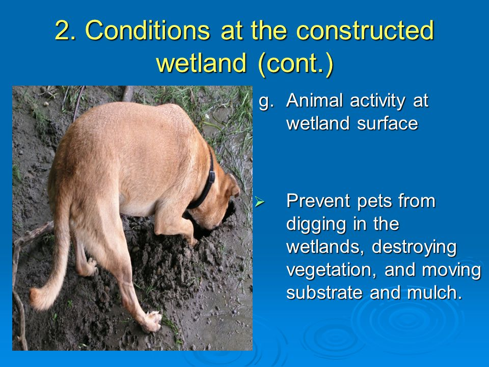 2. Conditions at the constructed wetland (cont.) g.Animal activity at wetland surface g.Animal activity at wetland surface  Prevent pets from digging