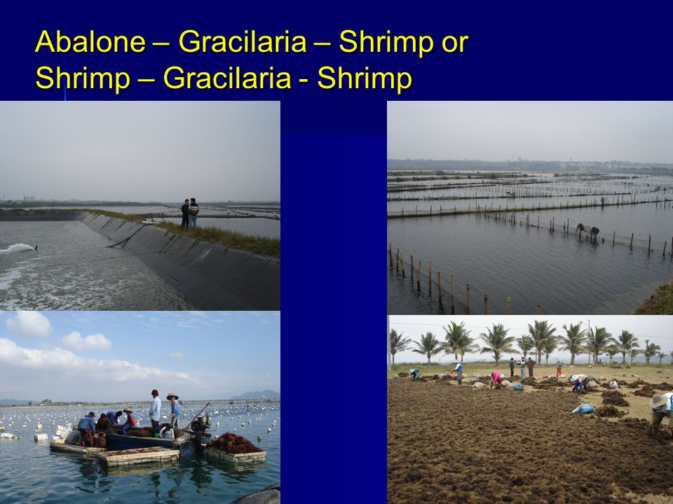 Abalone – Gracilaria – Shrimp or Shrimp – Gracilaria - Shrimp