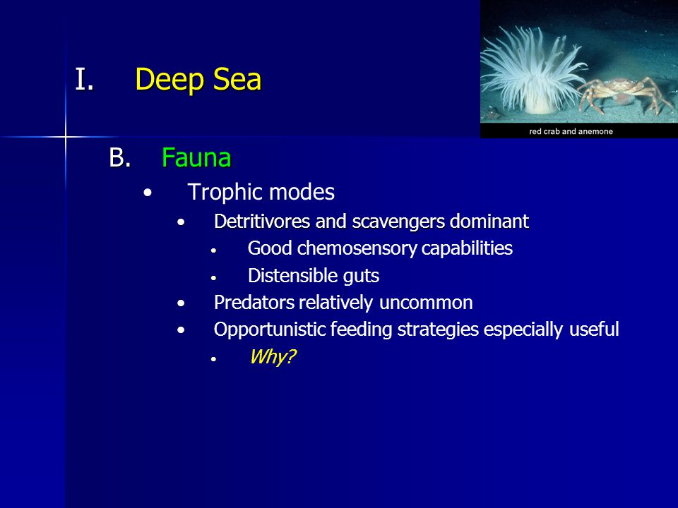 I.Deep Sea B.Fauna Trophic modes Detritivores and scavengers dominantDetritivores and scavengers dominant Good chemosensory capabilities Distensible guts Predators relatively uncommon Opportunistic feeding strategies especially useful Why?