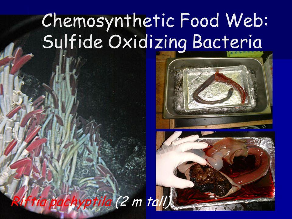 Chemosynthetic Food Web: Sulfide Oxidizing Bacteria Riftia pachyptila (2 m tall)