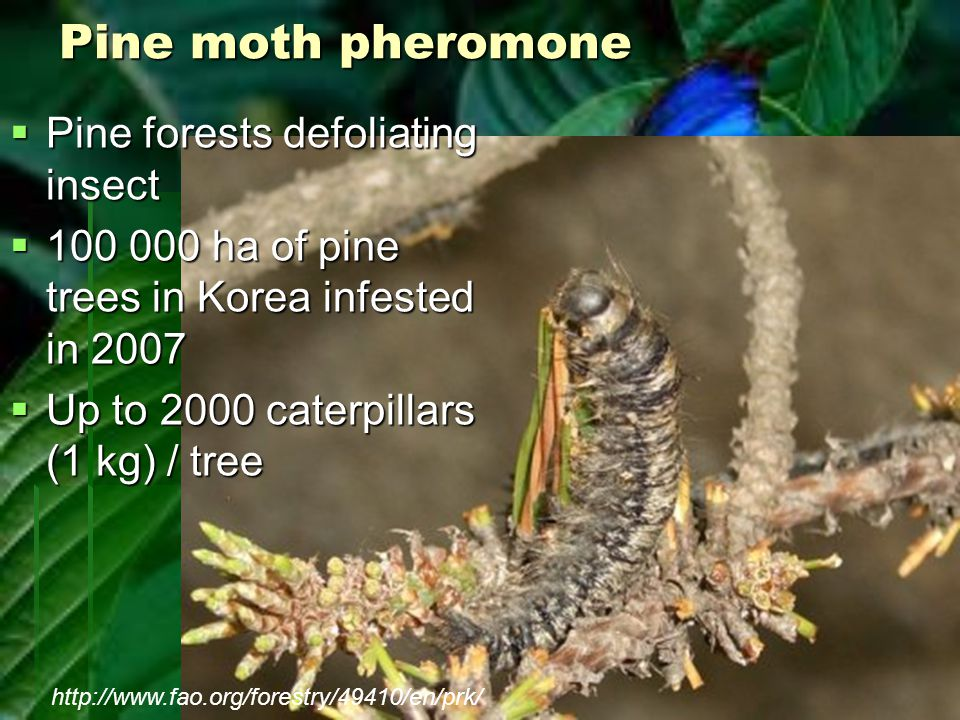 Pine moth pheromone  Pine forests defoliating insect  100 000 ha of pine trees in Korea infested in 2007  Up to 2000 caterpillars (1 kg) / tree htt