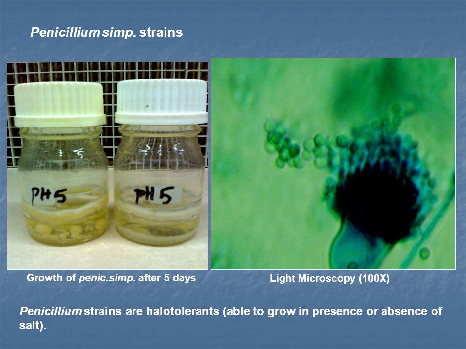 Penicillium simp. strains Light Microscopy (100X) Growth of penic.simp.