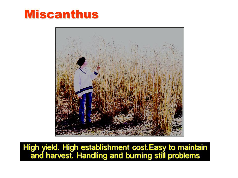 Miscanthus High yield. High establishment cost.Easy to maintain and harvest.