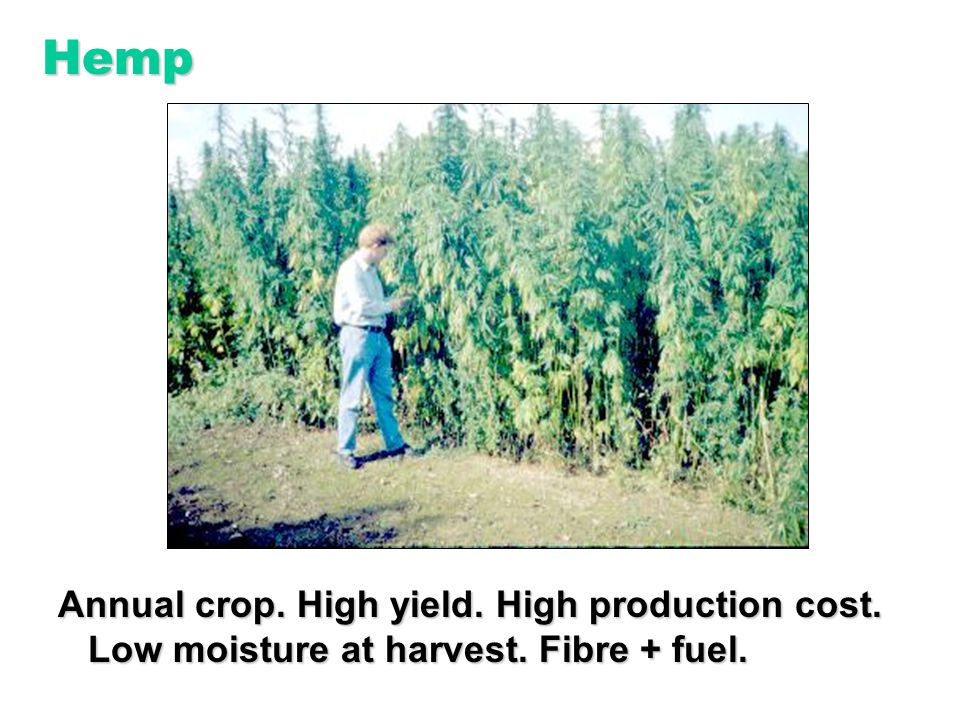 Annual crop. High yield. High production cost. Low moisture at harvest. Fibre + fuel. Hemp