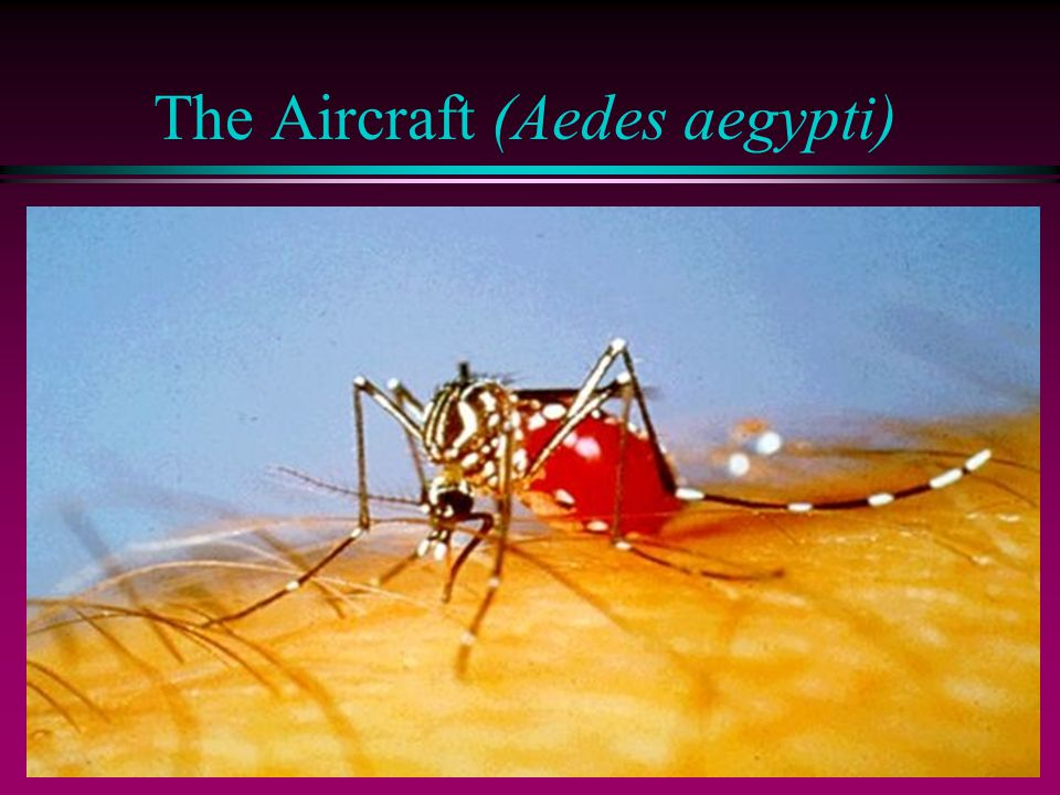 The Aircraft (Aedes aegypti)