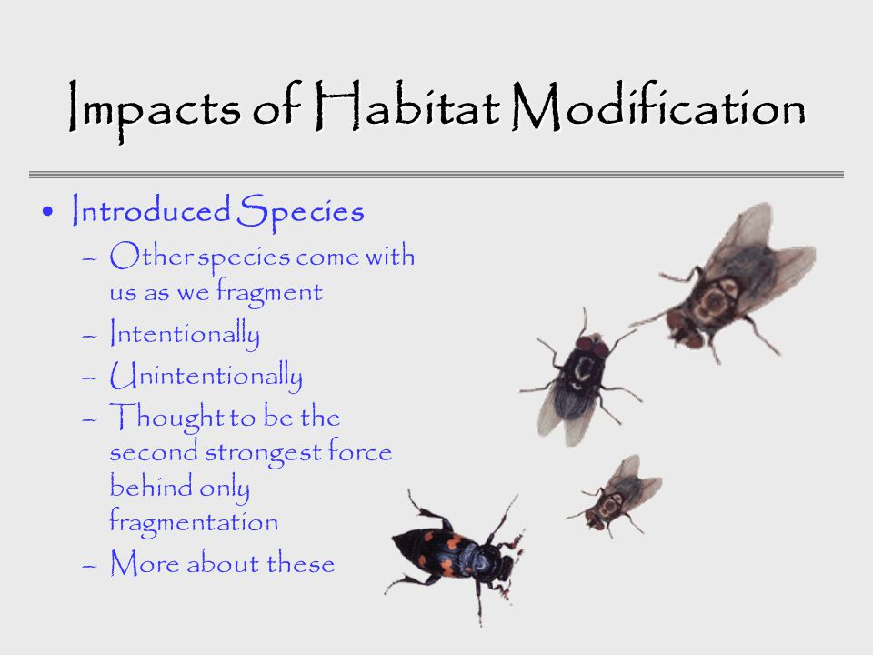 Impacts of Habitat Modification Introduced Species –Other species come with us as we fragment –Intentionally –Unintentionally –Thought to be the second strongest force behind only fragmentation –More about these