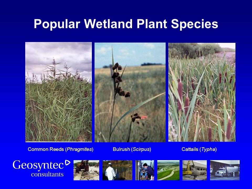 Common Reeds (Phragmites) Bulrush (Scirpus) Cattails (Typha) Popular Wetland Plant Species