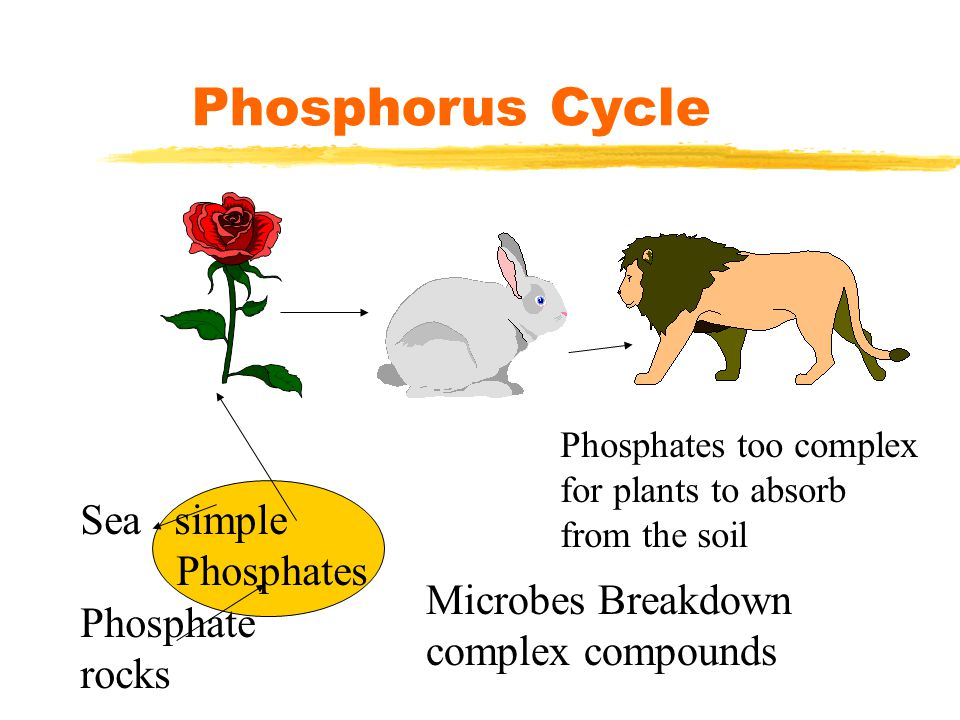 Phosphorus Cycle Sea simple Phosphates Phosphate rocks Phosphates too complex for plants to absorb from the soil Microbes Breakdown complex compounds